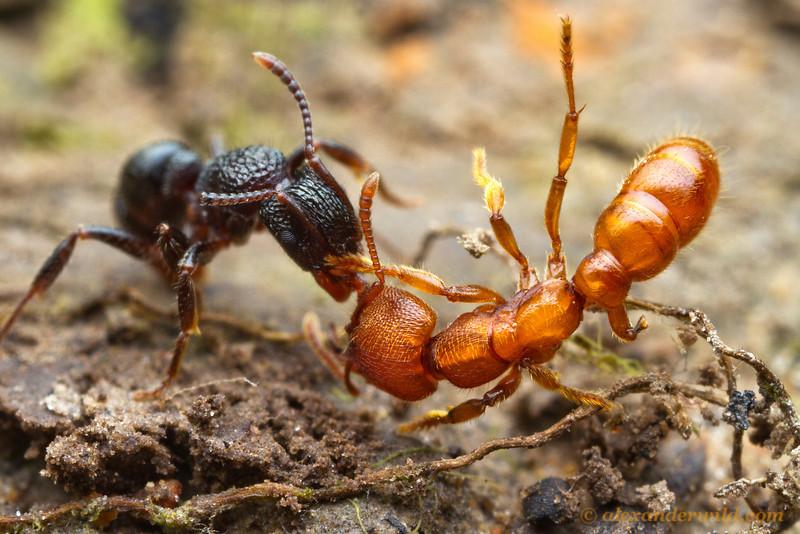 Ant Fighting
